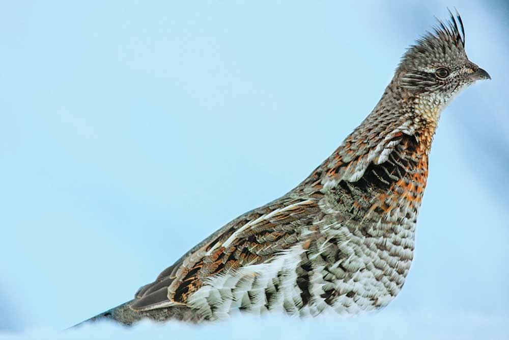 ruffed grouse hunting season