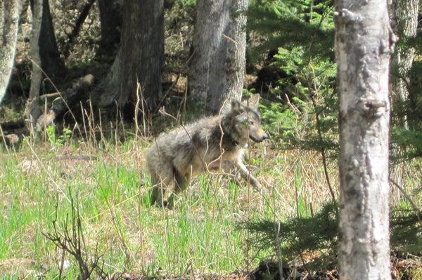 httpswww.outdoorlife.comsitesoutdoorlife.comfilesimport2014importImage2011photo10013215795_Wolf06_JJ.jpg