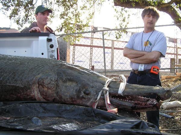 327-Pound Gator Gar May Smash Record