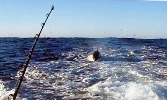 New Zealand Angler Accidentally Hooks a Killer Whale