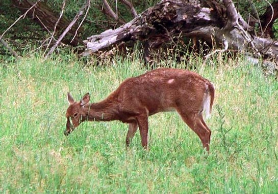 Kill or Contain: How Should Missouri Manage Chronic Wasting Disease?