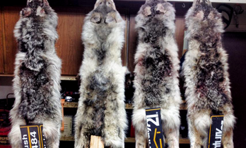 A Handy (and Free) Tip for Stretching the Legs of Furbearer Hides