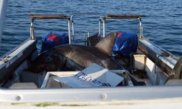 1,000-Pound Great White Shark Jumps Into Research Boat