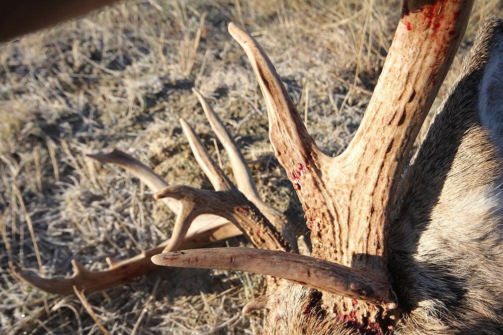 deer antlers older bucks
