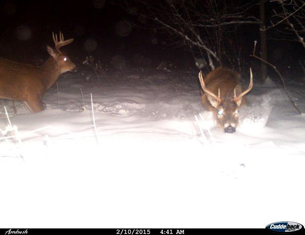 Whitetail Deer: Bucks and Coyotes Navigate Deep Snow in Northeast