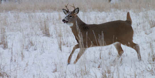Do You Want Antler Restrictions In Your Deer Woods?