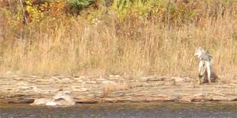 httpswww.outdoorlife.comsitesoutdoorlife.comfilesimport2014importImage2007legacyoutdoorimageswolfstory7_170.jpg