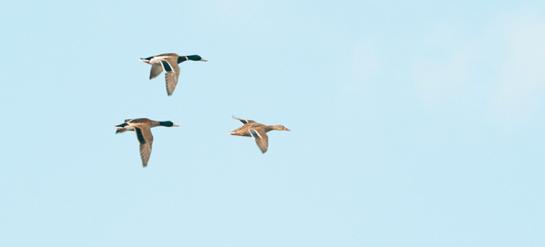 Louisiana Delta: The Duck Pipeline