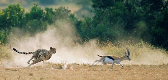 Study: Speed Not the Biggest Factor in Cheetahs' Hunting Success