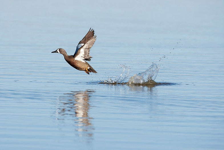 Bluewing Teal Drake Flushes for secluded water