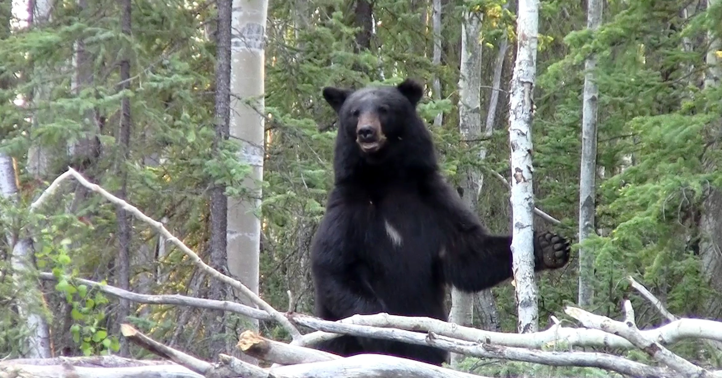 Traditional Bowhunting Video: First Spring Black Bear Hunt of 2015