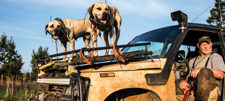 two hunting dogs standing on a truck hood and a hunter in the driver seat