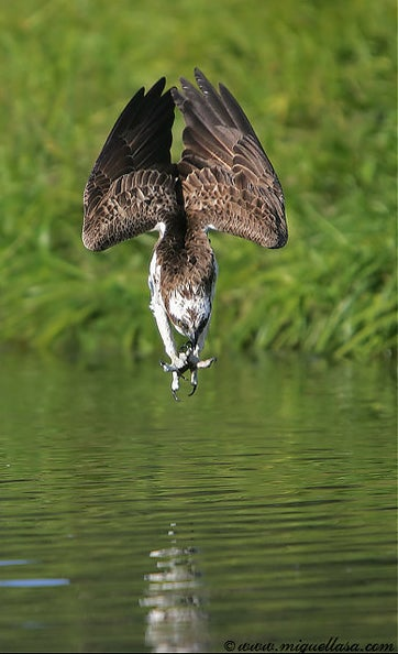 httpswww.outdoorlife.comsitesoutdoorlife.comfilesimport2014importImage2009photo7osprey_13.jpg