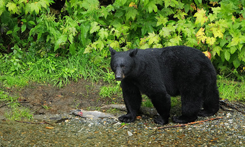 Bears on a Rampage … In Florida?
