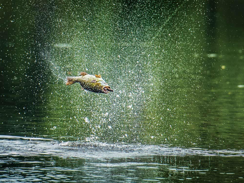 smallmouth bass nailing a topwater lure