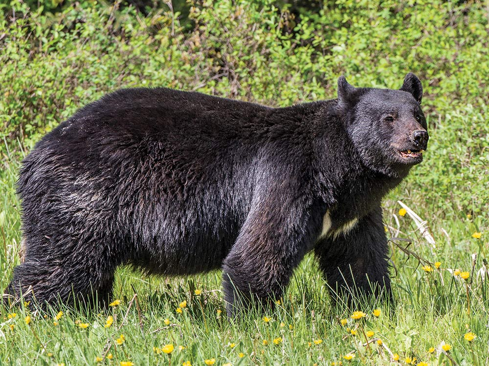 Black bear checks a field edge