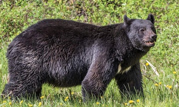 How to Decode a Black Bear's Body Language