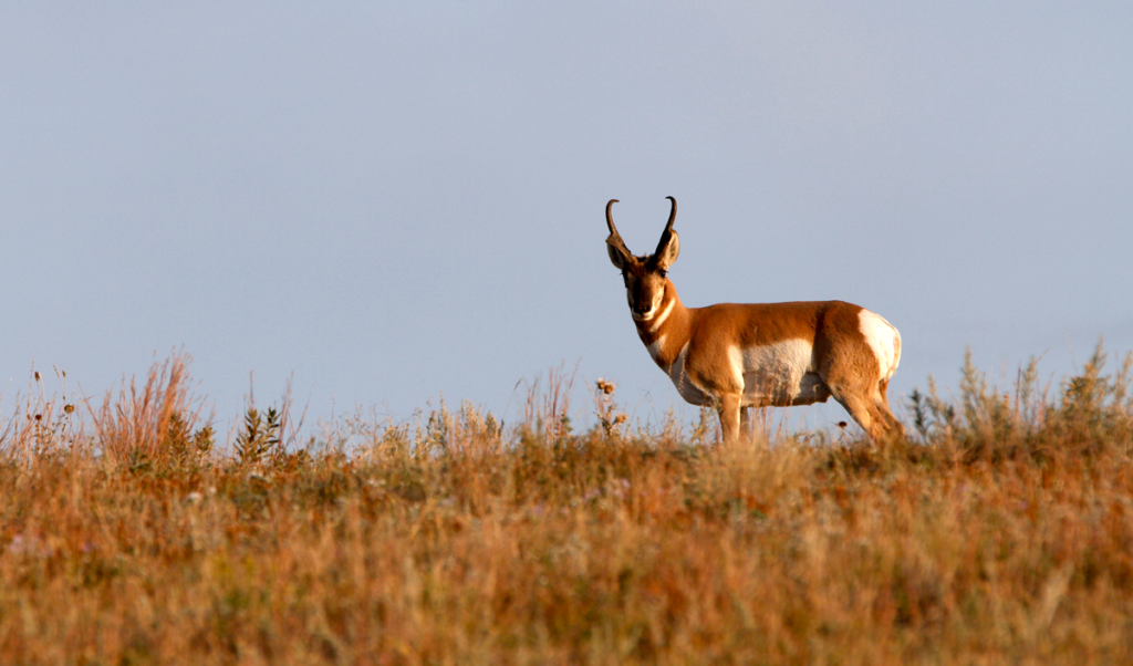 pronghorn antelope skyline
