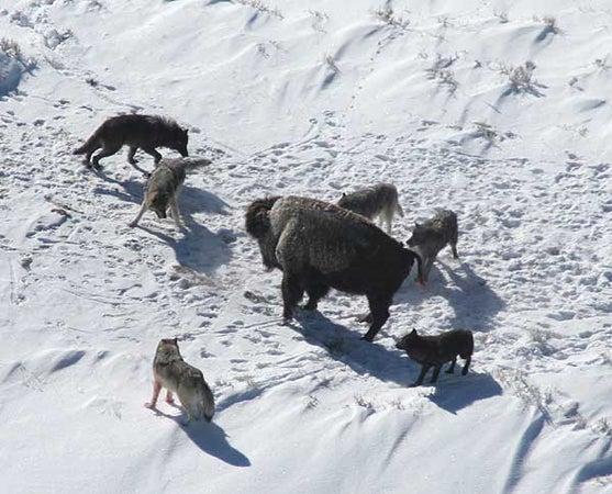 httpswww.outdoorlife.comsitesoutdoorlife.comfilesimport2013images20100818_Canis_lupus_pack_surrounding_Bison_0.jpg