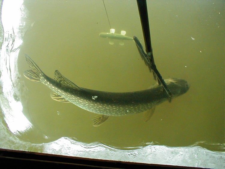 Pike Spearing