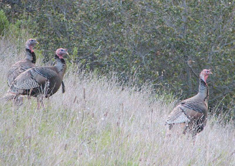 """""""turkeys"""