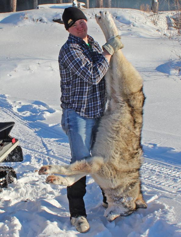 Live Hunt Alaska: Second Wolf of The Season