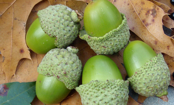 5 Ways To Eat Acorns for Survival