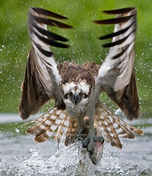 httpswww.outdoorlife.comsitesoutdoorlife.comfilesimport2014importImage2009photo7osprey_1.jpg