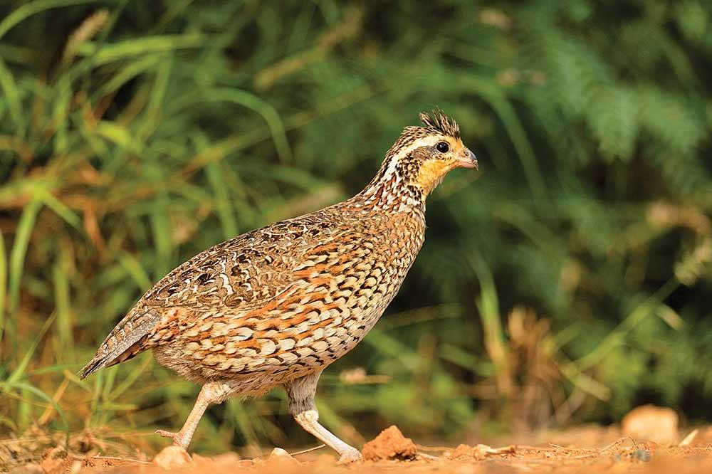 bobwhite quail hunting season