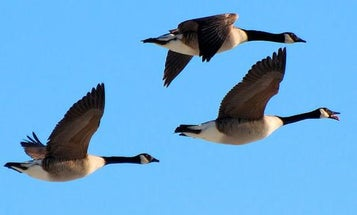 Late-Season Goose Hunting Tip: Don't Blow It