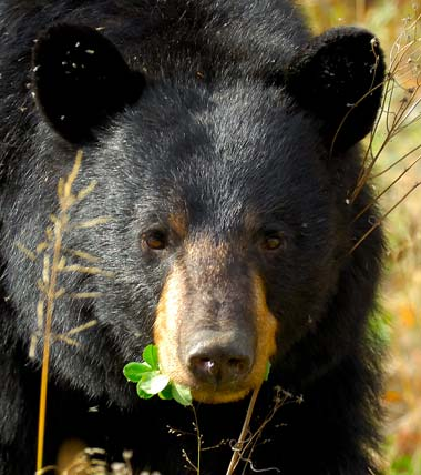 First Bear Hunt In 100 Years