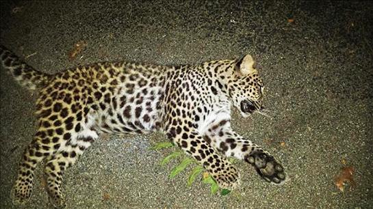 Indiana Couple Kills Leopard in Backyard