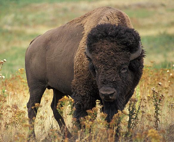 Bison Hunting Opportunities Could Expand in Wyoming