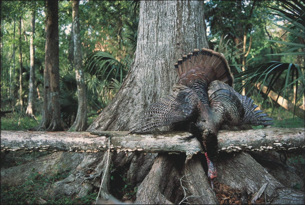 Florida Turkey