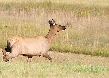 It's Official, Elk Headed for Virginia
