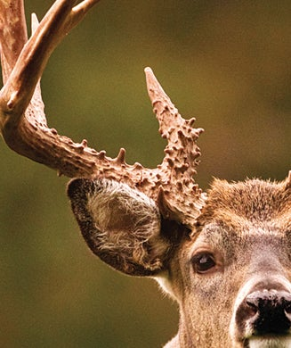 Deer Hunting Tips: How to Read Buck Body Language