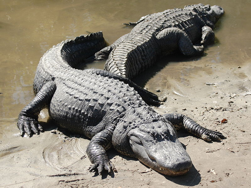"""""""gators"""""""