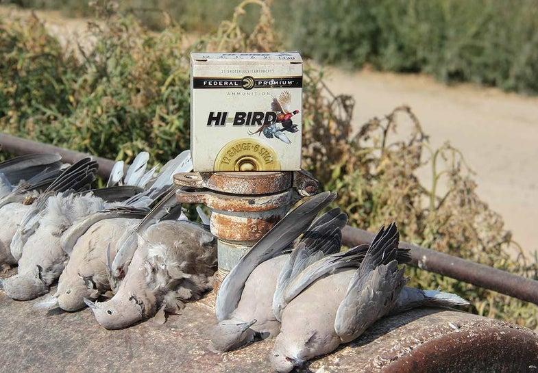 eurasion collard doves with bird shot