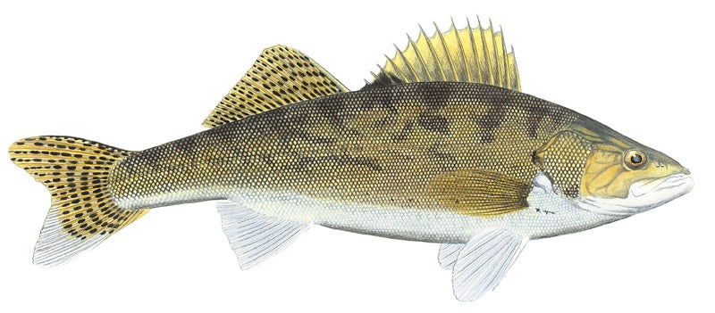 httpswww.outdoorlife.comsitesoutdoorlife.comfilesimport2014importImage2010photo3001076_Walleye.jpg