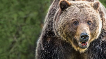 grizzly bear in front of green foliage