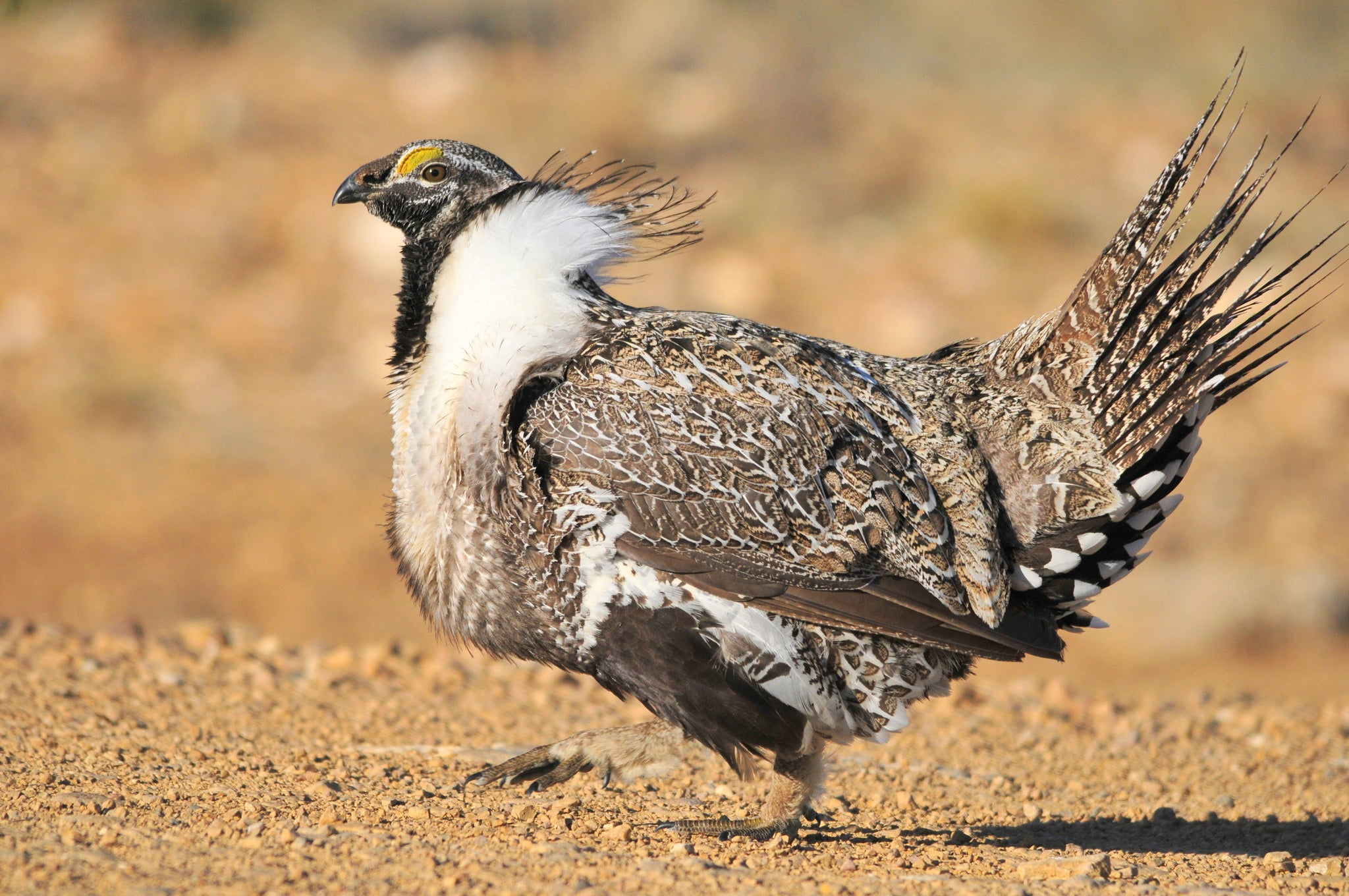 Endangered Species Fight: The Civil War for Sage Grouse Conservation