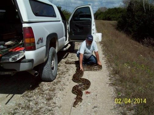 Giant Python Caught in Florida, Almost a State Record