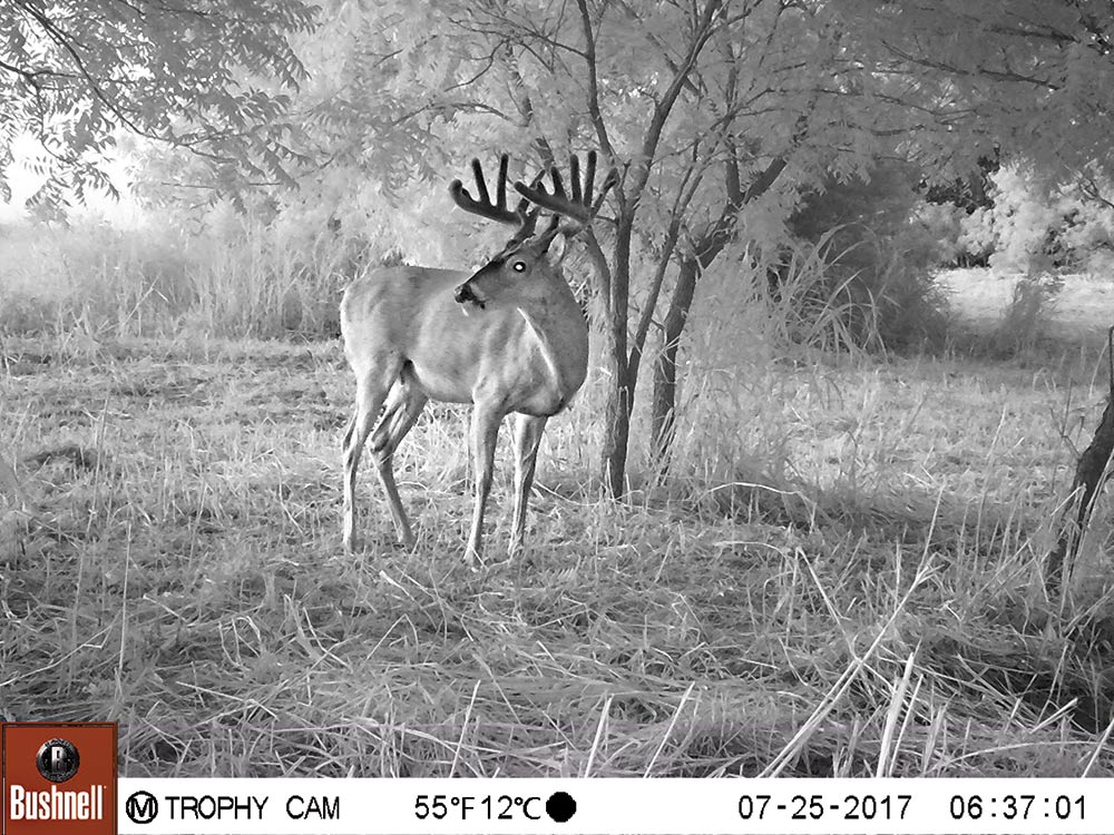 bushnell trail camera footage of a buck