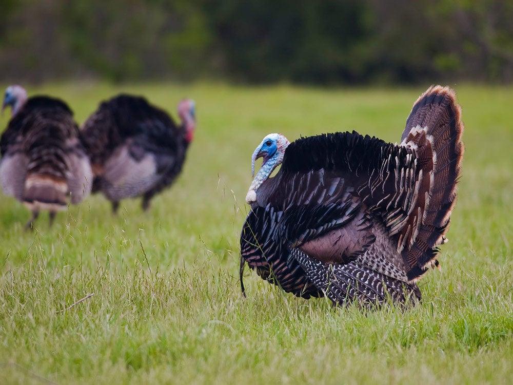 california turkey hunting forecast