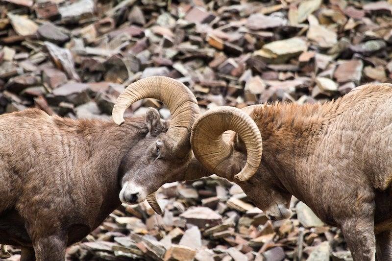 httpswww.outdoorlife.comsitesoutdoorlife.comfilesimport2014importImage2010photo6Queneau-Bighorn_Pneumonia-1.jpg