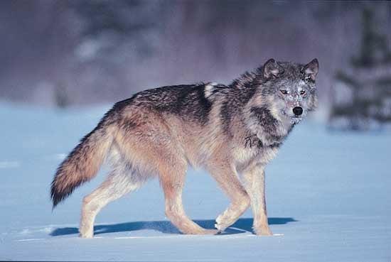 httpswww.outdoorlife.comsitesoutdoorlife.comfilesimport2014importImage2010photo3001031gray-wolf.jpg