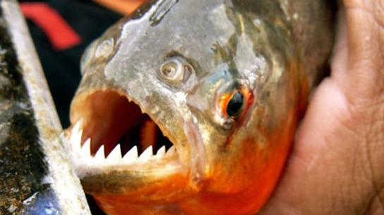 At Least 60 People Injured During Piranha Attack in Argentina