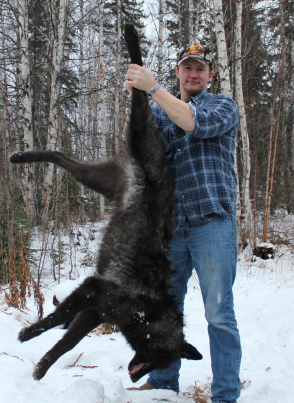 Trapping Alaska: First Wolf of the Season
