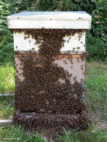 httpswww.outdoorlife.comsitesoutdoorlife.comfilesimport2014importImage2010photo3001039honey-bee-hive_0.jpg