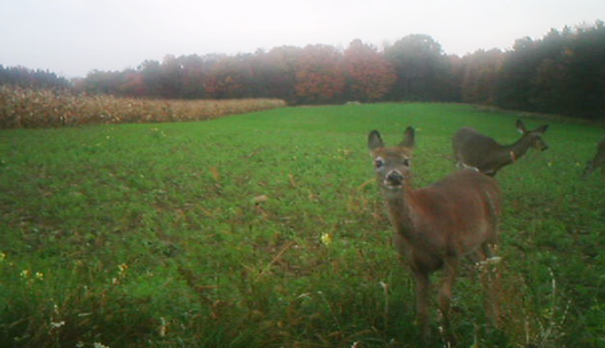 How to Hunt Whitetails this Weekend: Find the Right Forage